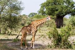 Жираф жирафа в национальном парке Tarangire, Танзании Стоковые Фотографии RF