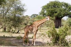 Жираф жирафа в национальном парке Tarangire, Танзании Стоковая Фотография RF
