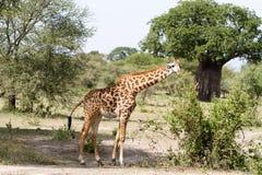 Жираф жирафа в национальном парке Tarangire, Танзании Стоковое фото RF