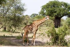 Жираф жирафа в национальном парке Tarangire, Танзании Стоковое Фото