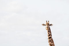 Жираф жует Стоковое Фото