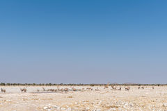 Жираф, зебры Burchells, сернобык на waterhole в северозападном Na Стоковая Фотография RF