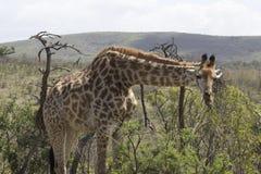 Жираф ища область для того чтобы пасти Стоковая Фотография