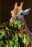Жираф и ветвь дерева Стоковое фото RF