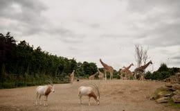 Жираф и газель в национальном парке Mount Kenya Стоковые Изображения