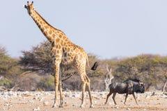 Жираф и голубая антилопа гну идя в куст Сафари в национальном парке Etosha, известное назначение живой природы перемещения в Нами Стоковое Изображение RF