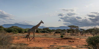 Жираф идет в африканскую степь Стоковые Фото