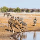 Жираф и зебры на waterhole в национальном парке Etosha Стоковые Изображения