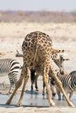Жираф и зебры на waterhole Стоковые Фотографии RF