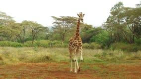 Жираф идя вдоль саванны на Африке акции видеоматериалы