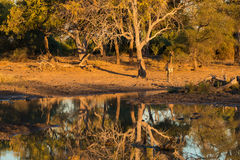 Жираф идя к waterhole на заходе солнца Сафари в национальном парке Mapungubwe, Южная Африка живой природы Сценарный мягкий теплый Стоковое фото RF
