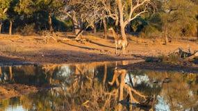 Жираф идя к waterhole на заходе солнца Сафари в национальном парке Mapungubwe, Южная Африка живой природы Сценарный мягкий теплый Стоковые Изображения RF