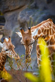 Жираф матери и жираф ребенк есть листья Стоковые Фотографии RF