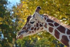 Жираф матери Стоковые Фотографии RF