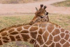 Жираф младенца стоковые изображения