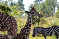 Жираф младенца Стоковое Фото
