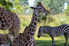 Жираф младенца Стоковые Фото