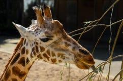 Жираф наслаждается едой Стоковая Фотография