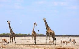 Жираф 3 на африканских равнинах окруженных прыгуном Стоковая Фотография