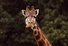 Жираф на африканской саванне Стоковые Фото