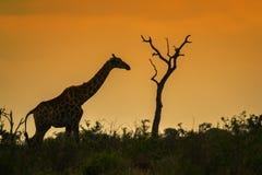 Жираф на заходе солнца в национальном парке Kruger, Южной Африке Стоковое Изображение RF