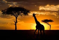 Жираф на заходе солнца в саванне Кения Танзания 5 2009 в марше maasai танцульки Африки ратников села Танзании восточном выполняя стоковая фотография rf