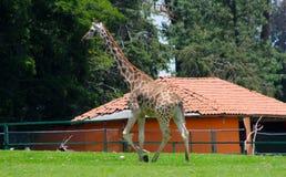 Жираф на зверинце Стоковая Фотография