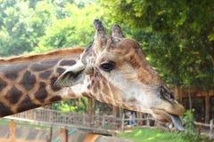 Жираф на зоопарке - голова жирафа. Стоковые Изображения