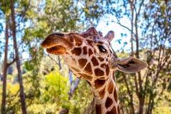 жираф на зоопарке Стоковое Фото