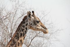 Жираф на национальном парке Ruaha, Танзании Восточной Африке Стоковые Фото
