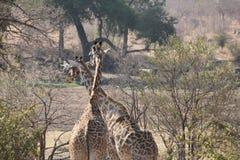 Жираф на национальном парке Ruaha, Танзании Восточной Африке Стоковое фото RF