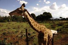 Жираф на носороге и лев паркуют около Йоханнесбурга стоковая фотография rf