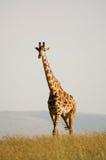 Жираф на открытой саванне стоковое фото