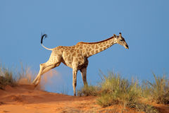 Жираф на песчанной дюне Стоковая Фотография RF