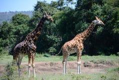Жираф на предпосылке держателя Килиманджаро в национальном парке Кении, Африки Стоковые Фотографии RF