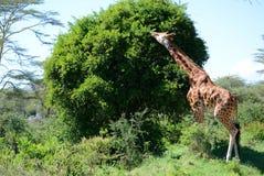 Жираф на предпосылке держателя Килиманджаро в национальном парке Кении, Африки Стоковые Изображения