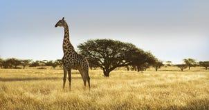 Жираф на равнине Стоковые Изображения