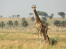 Жираф на саванне Стоковые Изображения RF