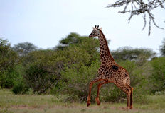 Жираф на Amboseli Кении Стоковая Фотография RF