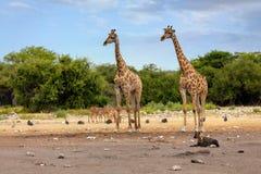 Жираф на Etosha с обнажанной гиеной, живой природой сафари Намибии Стоковые Изображения RF