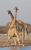 Жираф на waterhole в национальном парке Etosha Стоковые Изображения RF