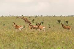 Жираф пася с импалами Стоковое Изображение RF