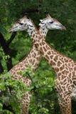 Жираф пася Стоковые Изображения