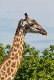 Жираф пася Стоковое Фото