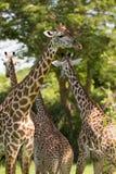 Жираф пася Стоковые Фото