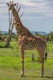 Жираф пася Стоковые Изображения RF