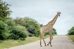 Жираф пересекая дорогу в Etosha Стоковые Изображения RF