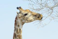 Жираф подавая на дереве акации, низком угле Стоковая Фотография RF