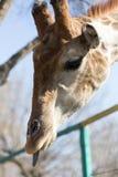 Жираф показывает язык в природе Стоковые Изображения