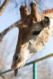Жираф показывает язык в природе Стоковое фото RF